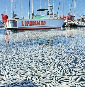 Milyonlarca ölü balık bulundu Los Angeles kıyılarında